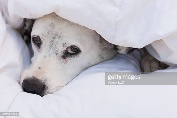 USA, Illinois, Metamora, dalmatian dog resting under duvet