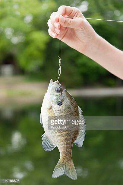 USA, Illinois, Metamora, Girl's (10-11) hand holding Bluegill (Lepomis macrochirus) on fishing hook