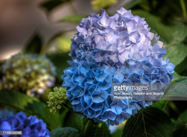 illuminated blue hydrangea blossom - east hampton stock pictures, royalty-free photos & images