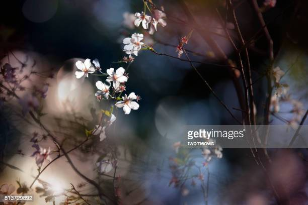Illuminated cherry blossom on colourful background. Dark moody background.