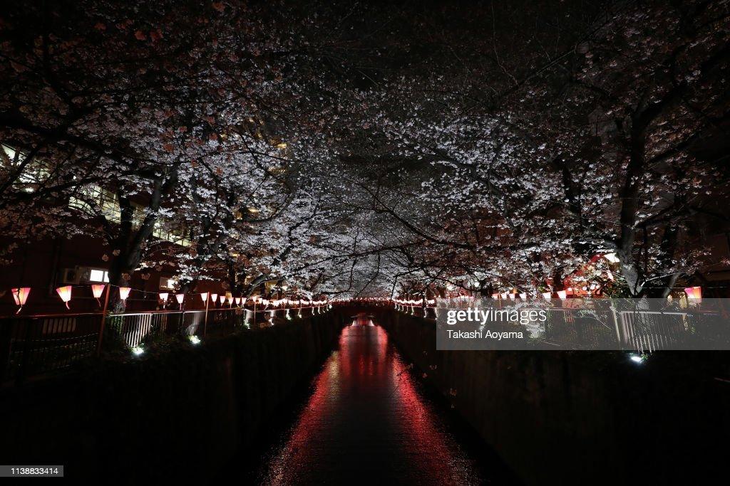 JPN: Cherry Blossom Season Arrives In Tokyo