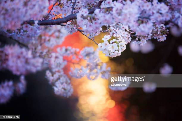 Illuminated Cherry blossoms on streaming water background.