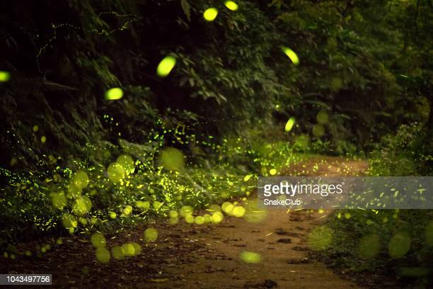illuminated fireflies flying on dirt road in woodland at night - glowworm stock pictures, royalty-free photos & images