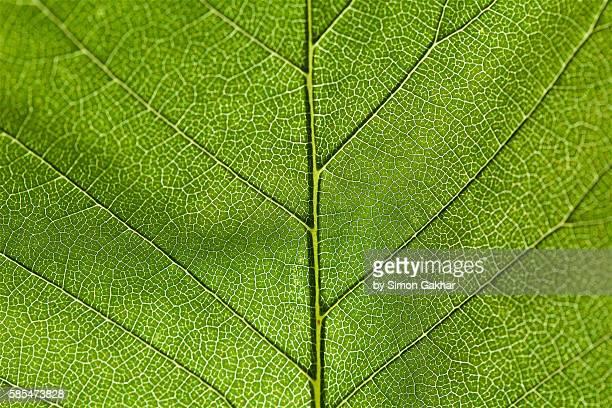 Illuminated Leaf close Up