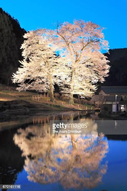 Illuminated 'Nawashiro Zakura' cherry blossom reflects on a rice paddy o April 18 2017 i Gero Gifu Japan