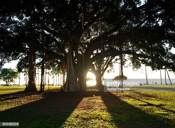 illuminating sunbeams - banyan tree stock pictures, royalty-free photos & images