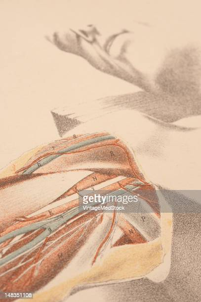 Illustrated plate from 'Illustrations of Dissections in a Series of Original Colored Plates representing the Dissection of the Human Body' shows a...