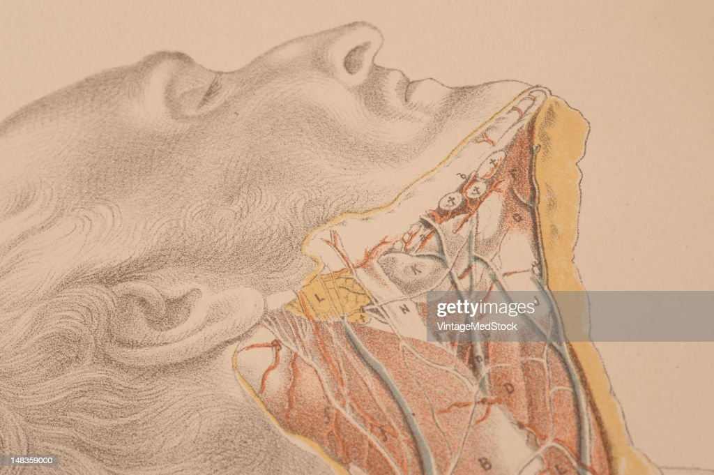 Dissection neck shows muscles arteries nerves tissue pictures illustrated plate from illustrations of dissections in a series of original colored plates representing the publicscrutiny Images