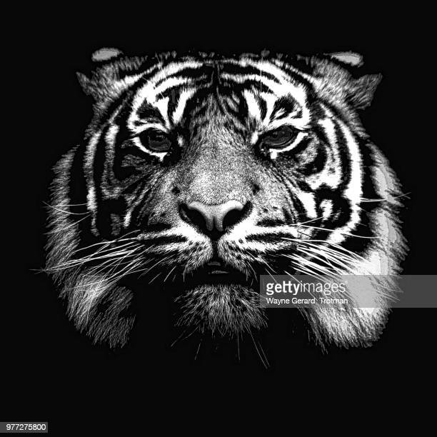 illustrated tiger - wayne gerard trotman stock pictures, royalty-free photos & images