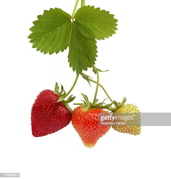 illustrating growth and ripening of strawberries - unripe stock pictures, royalty-free photos & images