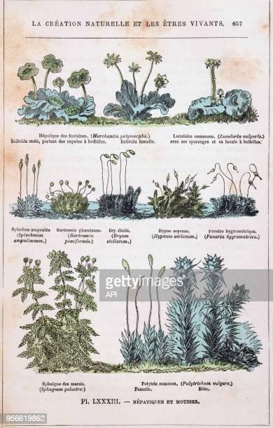 Illustration de 'La Création naturelle et des êtres vivants' du Dr Rengade représentant des plantes hépathiques et des mousses