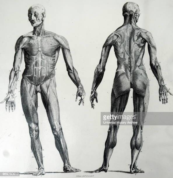 Illustration depicting a front and rear view of the top layer of muscles of a male body Dated 18th century