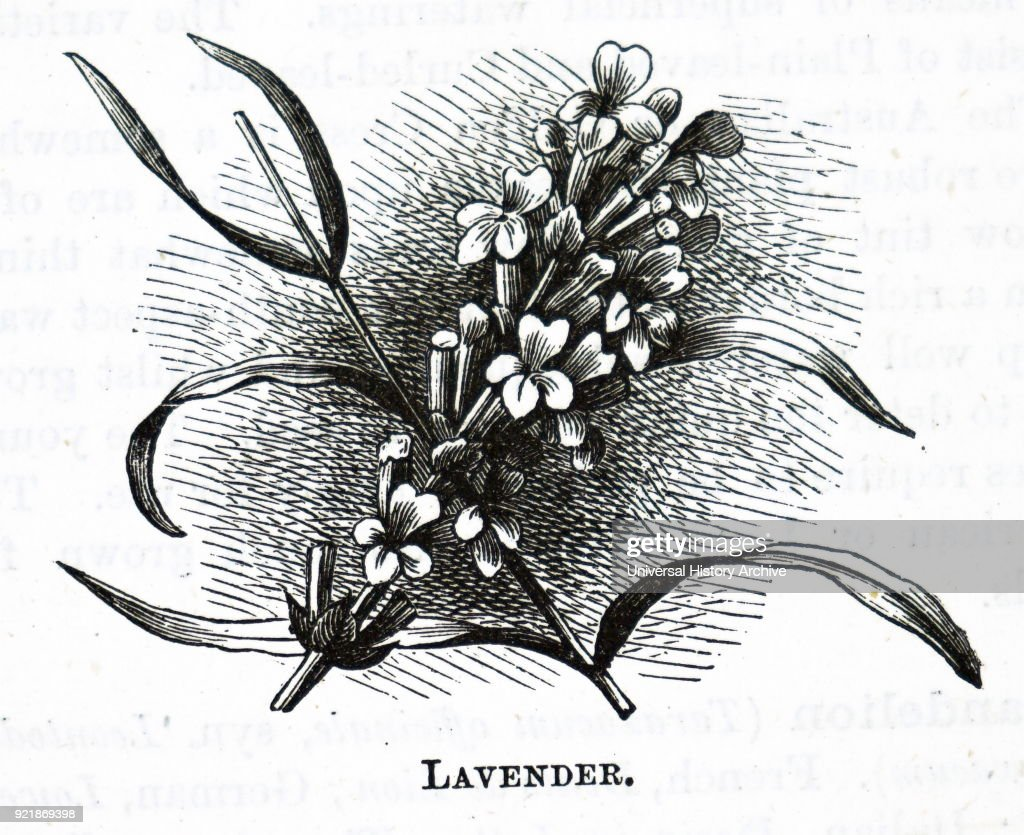 Illustration depicting a piece of lavender a genus of 47 known species of flowering plants in the mint family, Lamiaceae. Dated 20th century.