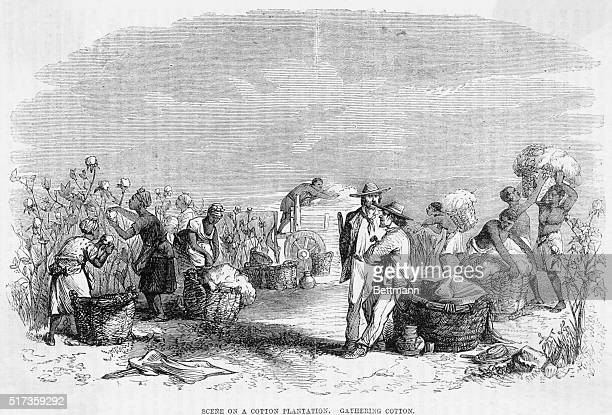 Illustration depicting a scene on a Southern cotton plantation Workers are shown gathering cotton Undated engraving