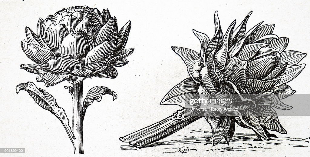 Illustration depicting artichokes. The globe artichoke is a variety of a species of thistle cultivated as a food. The edible portion of the plant consists of the flower buds before the flowers come into bloom. Dated 20th century.