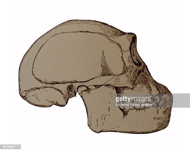Illustration depicting the Java Man skull a name given to early human fossils discovered on the island of Java in 1891 and 1892 Led by Eugène Dubois...
