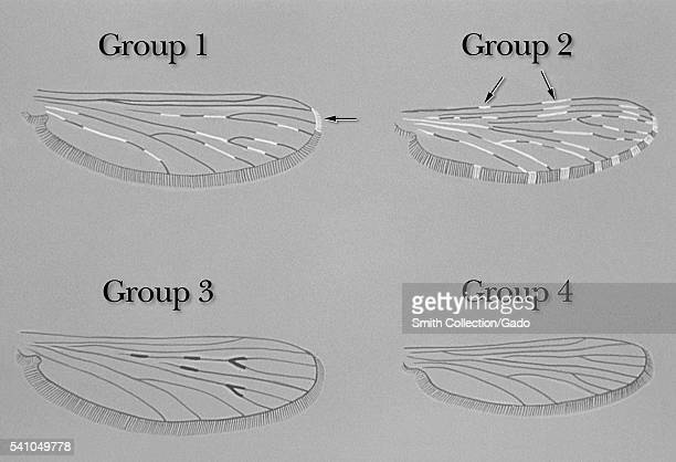 Illustration depicting variations in Anopheles mosquito wing patterns 1975 Amongst the Anopheles mosquitoes the venation of their wings remains...