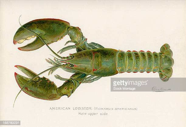 Illustration depicts the upper side of a male American lobster late 19th or early 20th century