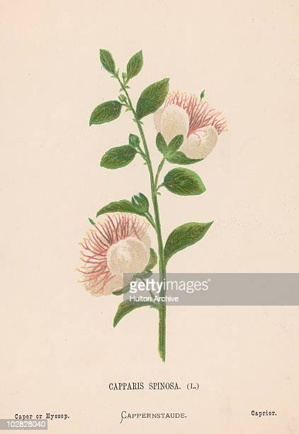 Illustration entitled 'Cappris Spinosa ' depicting caper a perennial spiny bush that bears rounded fleshy leaves and big white to pinkishwhite...