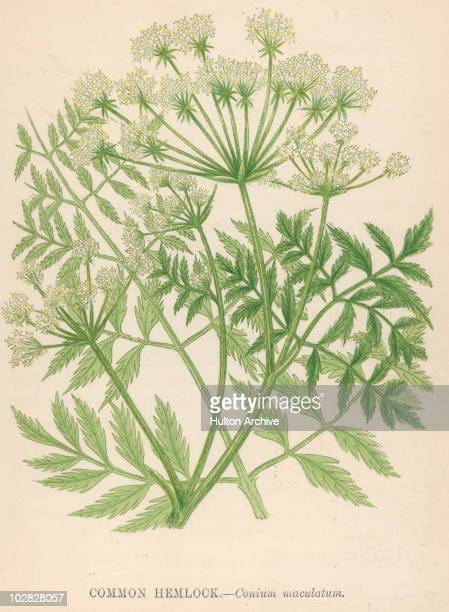 Illustration entitled 'Common Hemlock Conium maculatum' depicting the highly poisonous perennial herbaceous flowering plants with small white flowers...