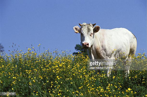 Illustration French agriculture in France in June 1993 Cows in a field