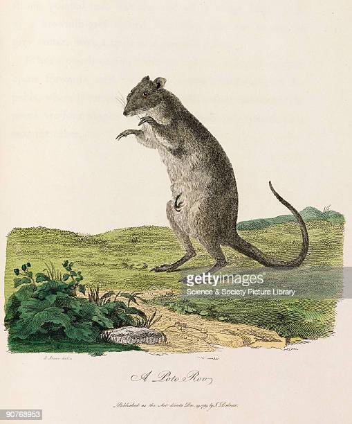 Illustration from �Journal of a voyage to New South Wales� a work on the natural history of Australia by John White published in London in 1790 White...