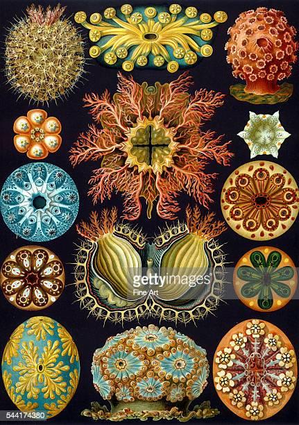 Illustration from Kunstformen der Natur by Ernst Haeckel. Plate 85.