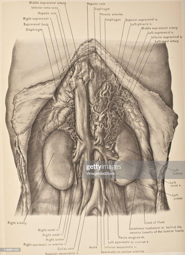 Abdominal Aorta Inferior Vena Cava Kidneys Ureter In Situ