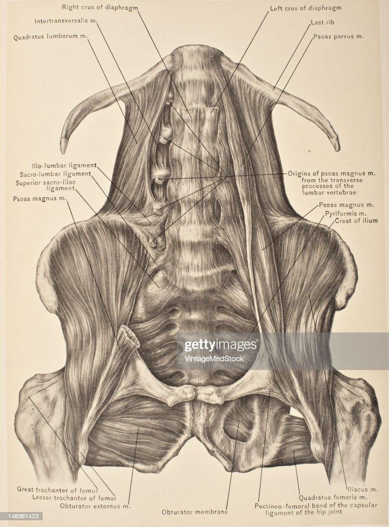 Quadratus Lumborum, Psoas, & Iliacus Muscles : News Photo