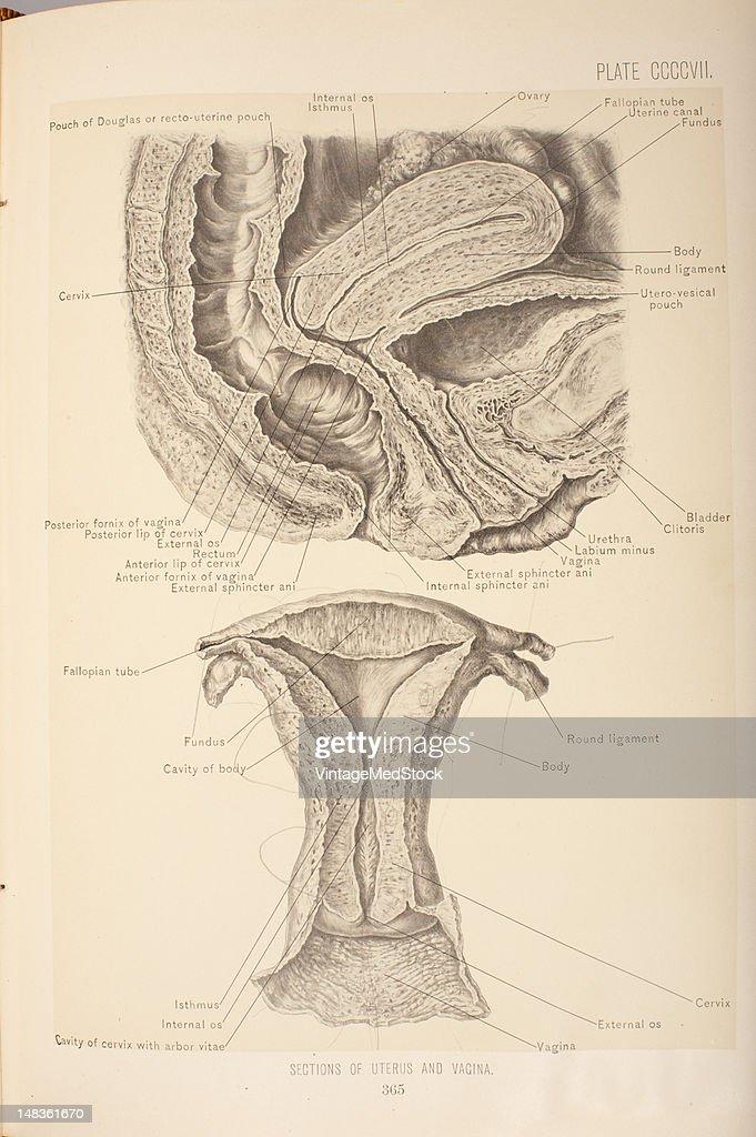 Amazing Anatomy Uterus And Bladder Picture Collection - Anatomy ...