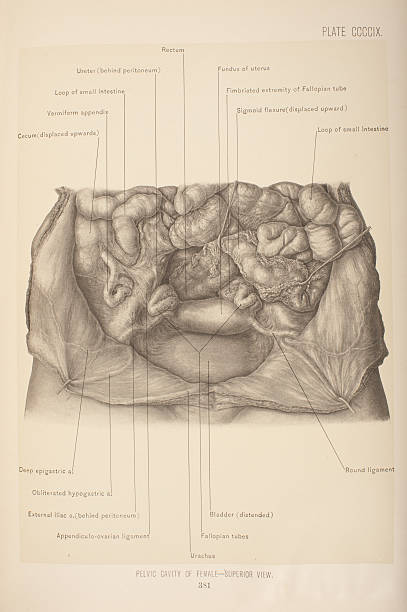 Pelvic Cavity Of Female Superior View Pictures Getty Images
