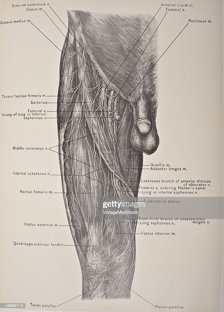 Muscles Vessels Nerves Of The Front Thigh Pictures Getty Images
