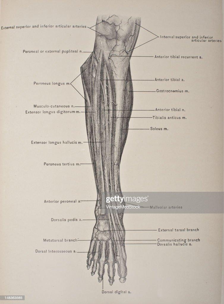 Anterior Tibial Artery & Nerve, Dorsalis Pedis Artery & Musculo ...