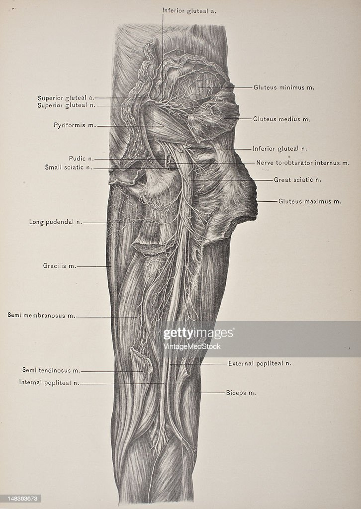Great Sciatic Nerve Pictures Getty Images