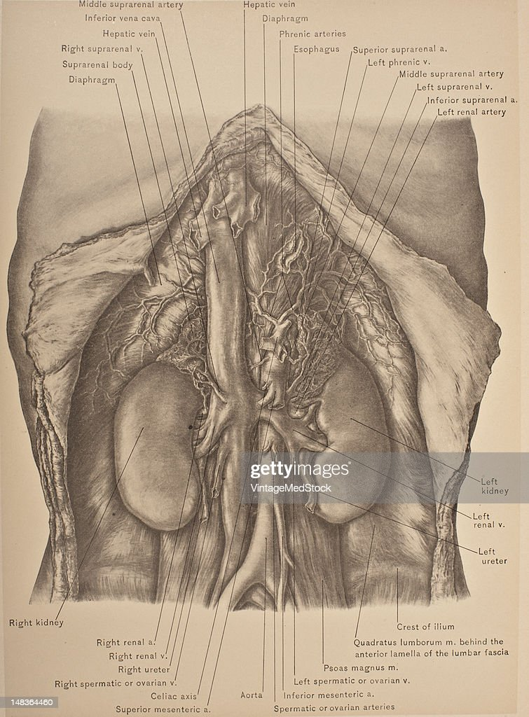 Abdominal Aorta Inferior Vena Cava Kidneys Ureter In Situ