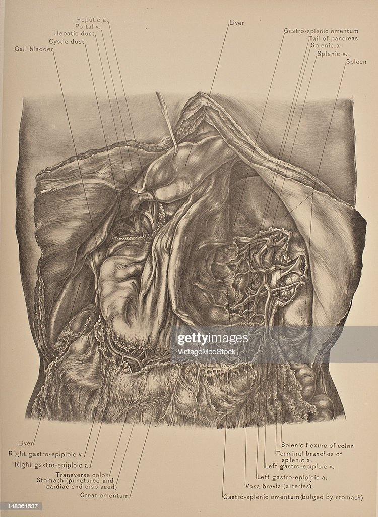 Vasa Brevia,-Structures In Gastro-Splenic Omentum Pictures | Getty ...