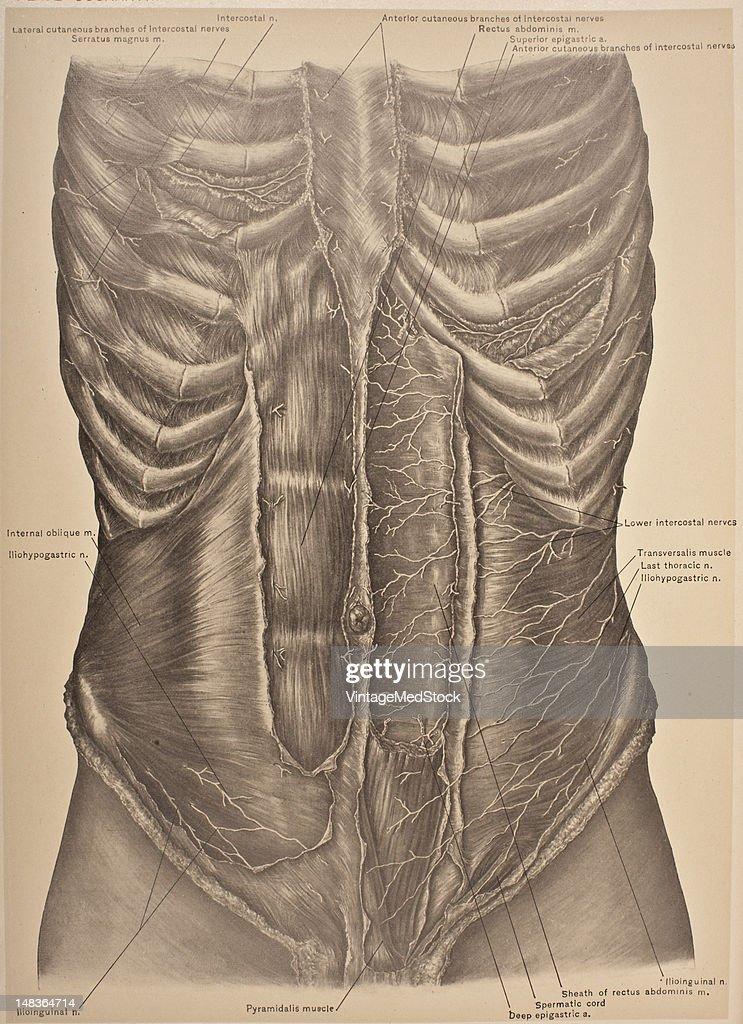 Lower Intercostal Nerves, Transversalis, & Rectus Abdominis Muscles : News Photo