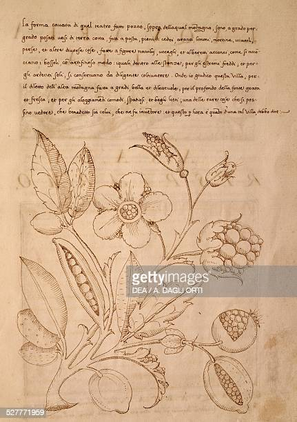 Illustration from the Trattato sui fiori dei parchi delle ville by G F Doni Attavanta manuscript Italy 15th century Venice Museo Correr Biblioteca
