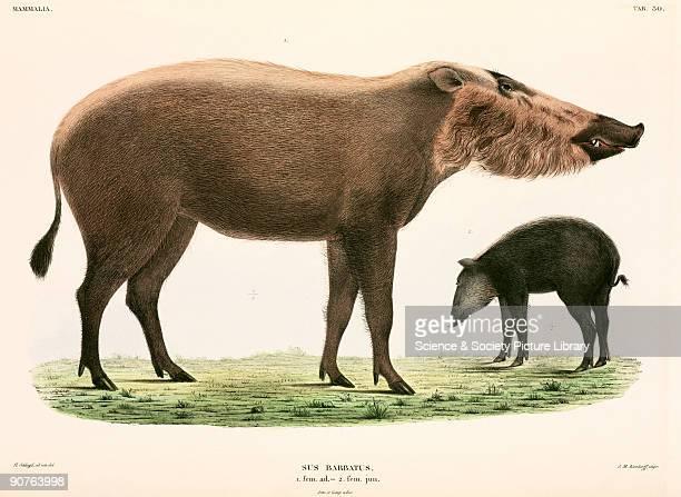 Illustration from �Verhandelingen over de natuurlijke geschiedenis der Nederlandsche overzeesche bezittingen� a work on the natural history of...
