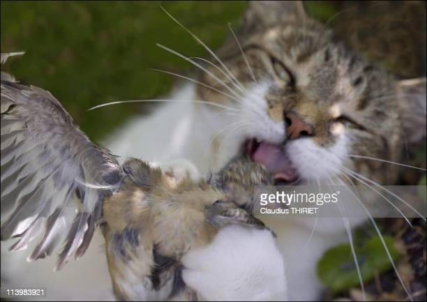 Illustration How vulnerable are domestic cats to birdflu In France On February 03 2006European cat holding in his paws a sparrow it's just killed