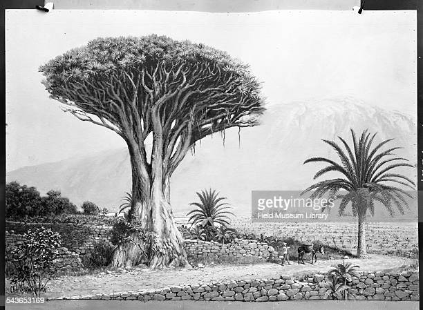 Illustration located in Hall 29 of a scene in Tenerife with a Dragon's blood Tree or Dracaena Cinnabari Chicago Illinois 1936 The world's largest and...