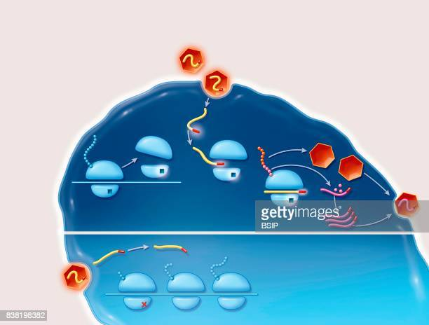 Illustration of a cell infection by an IRES Internal Ribosomal Entry Site virus and the its treatment The Hepatitis C virus is an RNA virus carrying...