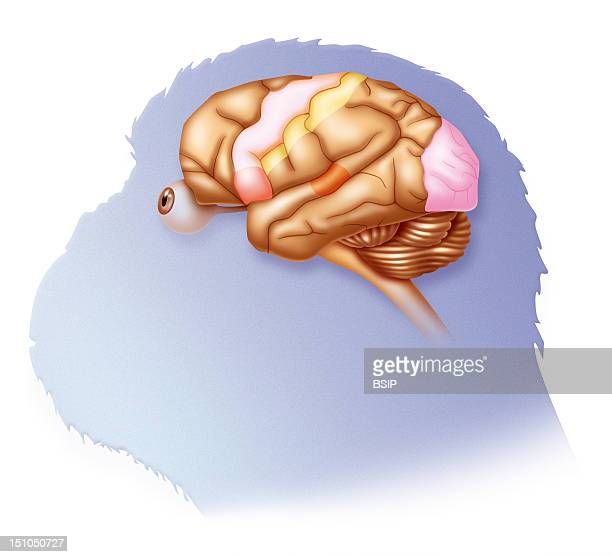 Illustration Of A Chimpanzee Brain Broca's Area Language Peach Color Motor Cortex Off White Sensory Cortex Yellow Auditory Cortex Orange Visual...