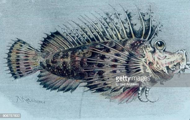 Illustration of a crest fish 1920s