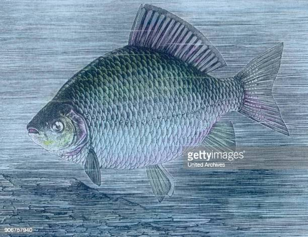 Illustration of a Crucian carp 1920s