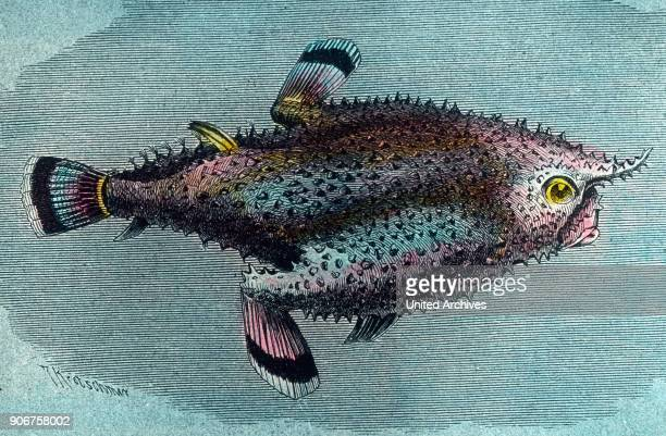 Illustration of a fish shaped like a tobacco pipe 1920s