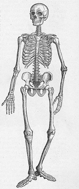 Illustration of a human skeleton taken from an 19th...