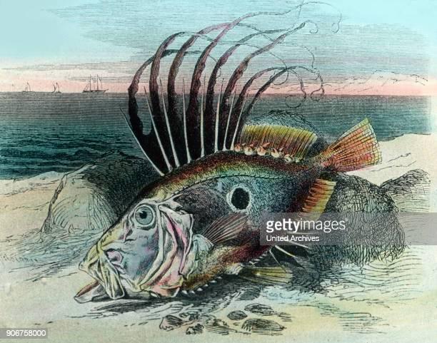 Illustration of a John dory fish 1920s