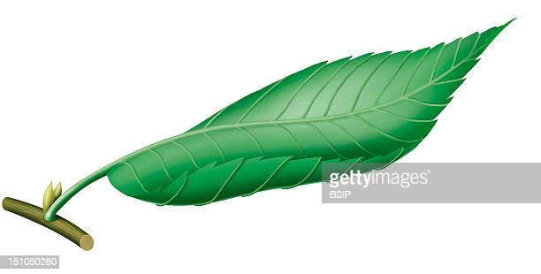 Illustration Of A Leaf