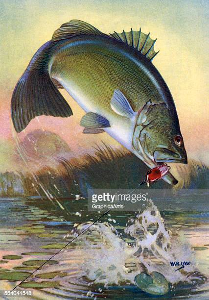 Illustration of a leaping largemouth bass on the line of a fisherman 1950 Lithograph